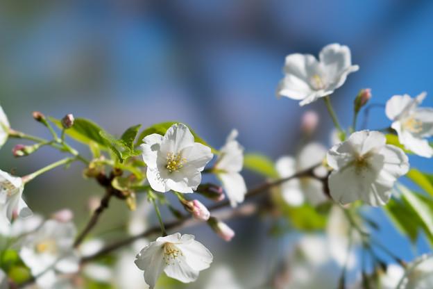 24小石川植物園【桜:大島桜】3