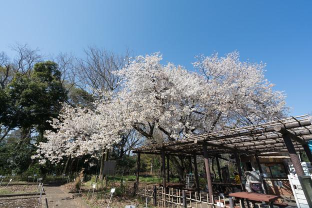 22小石川植物園【桜:大島桜】1