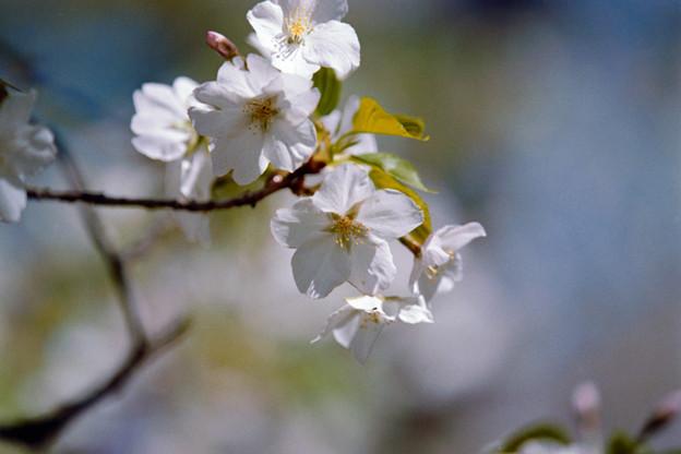 26小石川植物園【桜:大島桜】5銀塩NLP