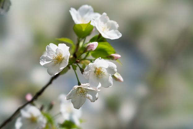 25小石川植物園【桜:大島桜】4