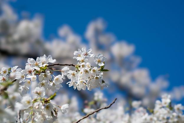 28小石川植物園【桜:染井吉野(帝吉野)】2