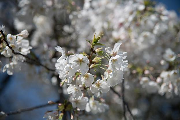 30小石川植物園【桜:染井吉野(帝吉野)】4