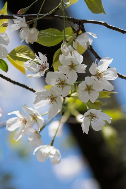 32小石川植物園【桜:染井吉野(帝吉野)】6