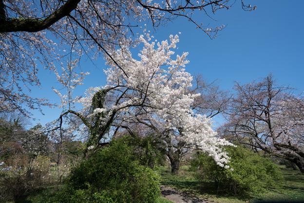 33小石川植物園【桜:染井吉野(伊豆吉野)】1