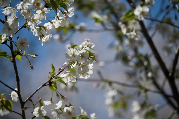 29小石川植物園【桜:染井吉野(帝吉野)】3