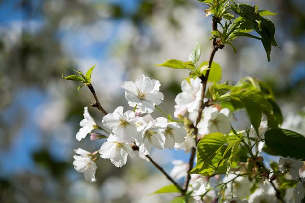 31小石川植物園【桜:染井吉野(帝吉野)】5
