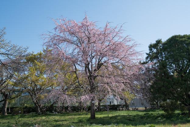 36小石川植物園【桜:枝垂れ桜】