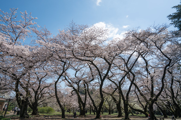 01新宿御苑【桜園地の眺め】1