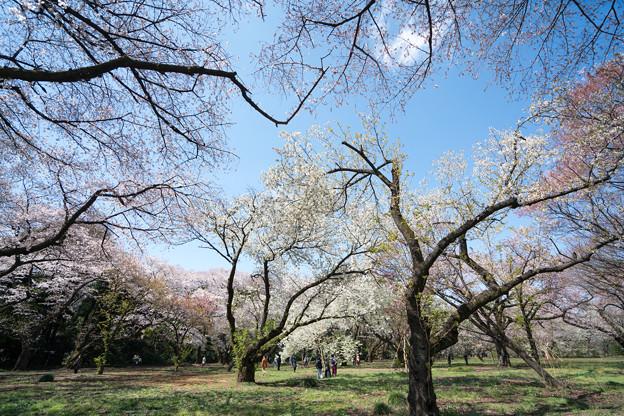02新宿御苑【桜園地の眺め】2