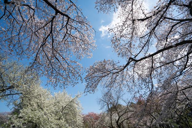03新宿御苑【桜園地の眺め】3