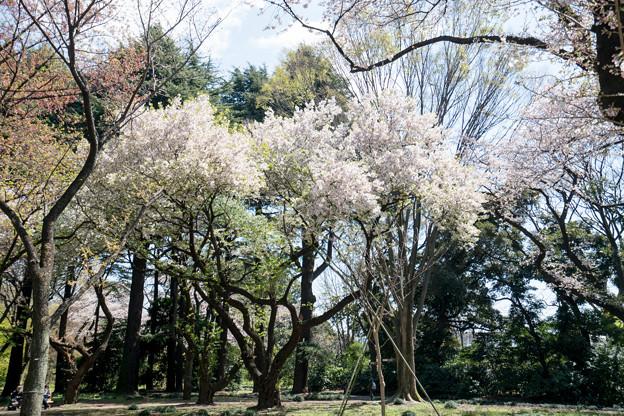04新宿御苑【桜園地の眺め】4