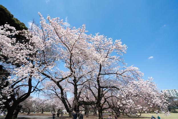 05新宿御苑【桜:染井吉野】1