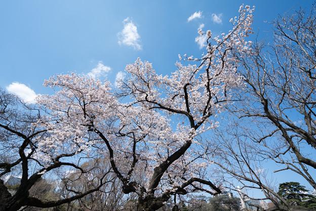 06新宿御苑【桜:染井吉野】2
