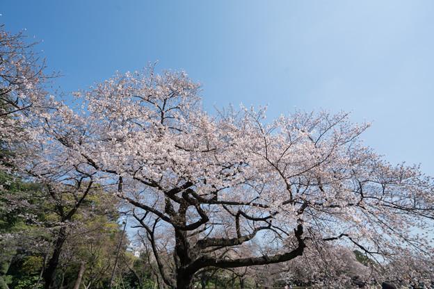 07新宿御苑【桜:染井吉野】3