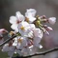 09新宿御苑【桜:染井吉野】5