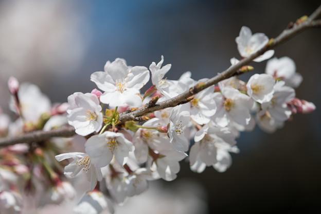 10新宿御苑【桜:染井吉野】6