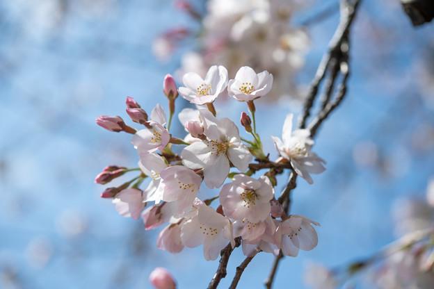 11新宿御苑【桜:染井吉野】7
