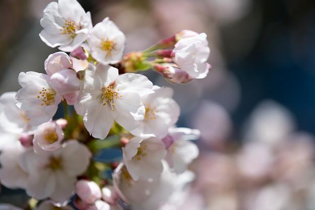 13新宿御苑【桜:染井吉野】9