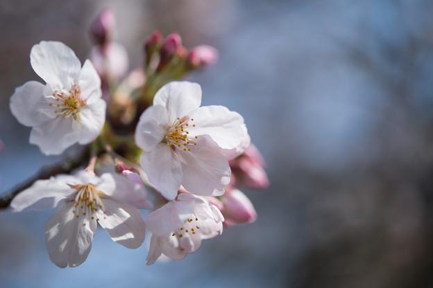 14新宿御苑【桜:染井吉野】10
