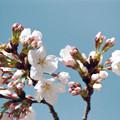 16新宿御苑【桜:染井吉野】12銀塩NLP