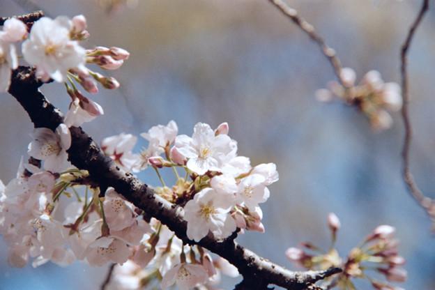 17新宿御苑【桜:染井吉野】13銀塩NLP