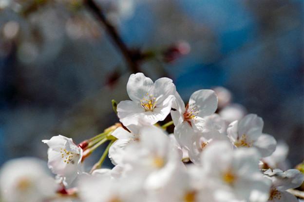 18新宿御苑【桜:染井吉野】14銀塩NLP