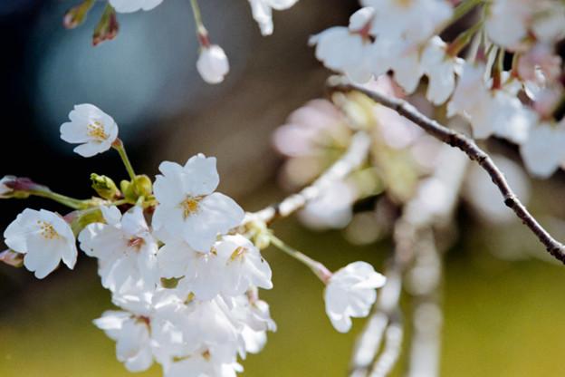 19新宿御苑【桜:染井吉野】15銀塩NLP