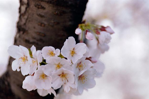 20新宿御苑【桜:染井吉野】16銀塩NLP
