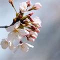 21新宿御苑【桜:染井吉野】17銀塩NLP