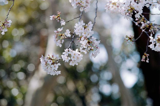 15新宿御苑【桜:染井吉野】11銀塩NLP