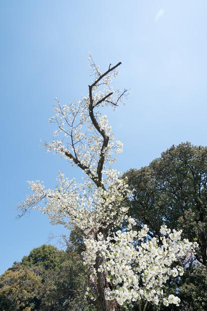 24新宿御苑【桜:大島桜】3