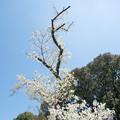Photos: 24新宿御苑【桜:大島桜】3