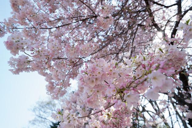 28新宿御苑【桜:アメリカ】2