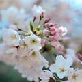 Photos: 31新宿御苑【桜:アメリカ】5銀塩NLP