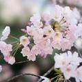 33新宿御苑【桜:アメリカ】7