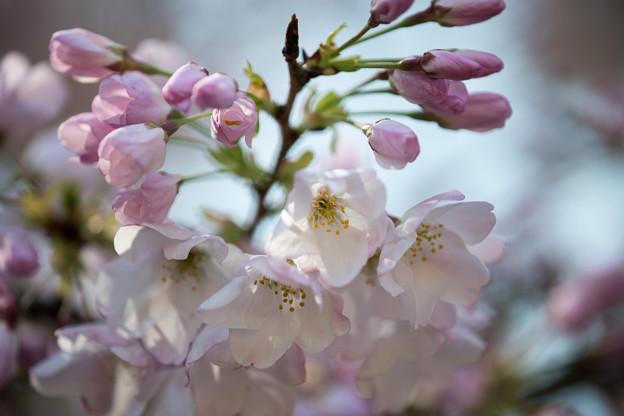 34新宿御苑【桜:アメリカ】8