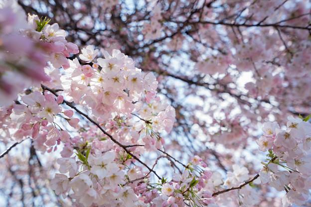29新宿御苑【桜:アメリカ】3