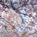 Photos: 29新宿御苑【桜:アメリカ】3