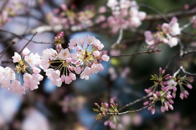 30新宿御苑【桜:アメリカ】4