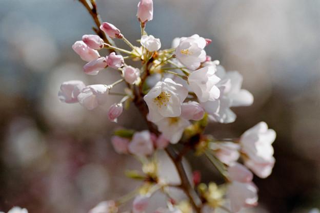 32新宿御苑【桜:アメリカ】6銀塩NLP