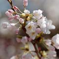 Photos: 32新宿御苑【桜:アメリカ】6銀塩NLP