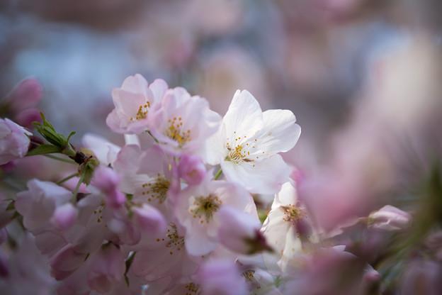 35新宿御苑【桜:アメリカ】9