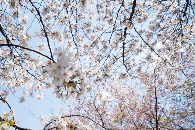 25新宿御苑【桜:大島桜】4