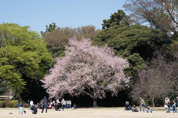 36新宿御苑【桜:江戸彼岸】1