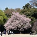 Photos: 36新宿御苑【桜:江戸彼岸】1