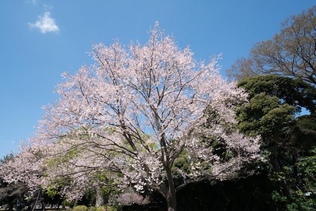 37新宿御苑【桜:江戸彼岸】2