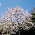 Photos: 37新宿御苑【桜:江戸彼岸】2