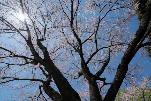 38新宿御苑【桜:江戸彼岸】3