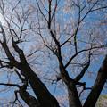 Photos: 38新宿御苑【桜:江戸彼岸】3