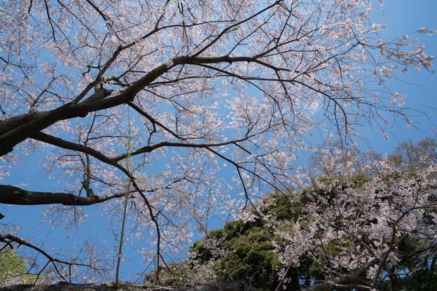 39新宿御苑【桜:江戸彼岸】4